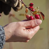 Rose Hips collecting Royalty Free Stock Photo