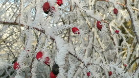 Rose-hips covered with rime frost crystals in wintertime stock video