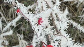 Rose-hips covered with rime frost crystals in wintertime. stock video