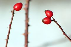 Rose hips detail Royalty Free Stock Image