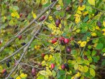 Rose hips, the edible fruit Stock Photos
