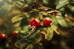 Rose Hips In An English-Haag royalty-vrije stock afbeelding