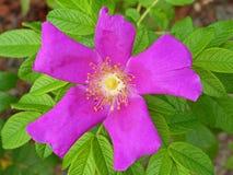 Rose Hips Flower 2 stock foto's