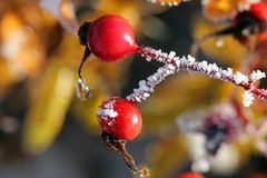 Rose Hips in Frost Royalty Free Stock Photography