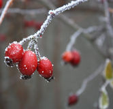 Rose Hips in Frost Royalty Free Stock Images