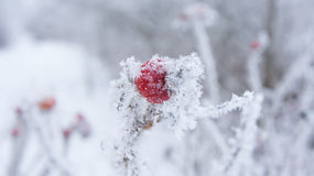 Rose hips in frost and snow flakes Stock Images