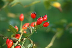 Rose hips in the garden Royalty Free Stock Photo