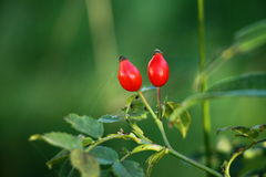 Rose hips on in the garden Royalty Free Stock Images