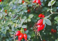 Rose hips on green bush. Rose hips on leafy bush in sunny garden Stock Photography