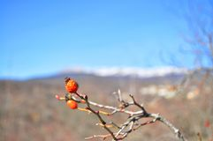 Rose hips high in the mountains. stock photography