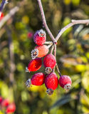 Rose hips with hoar frost in winter Stock Image