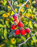Rose hips with hoar frost in winter Royalty Free Stock Photography