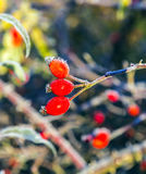 Rose hips with hoar frost in winter Stock Photography