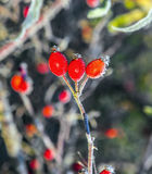 Rose hips with hoar frost in winter Stock Images