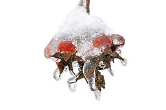 Rose hips in ice Stock Images