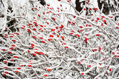Rose Hips In Winter Royalty Free Stock Photos