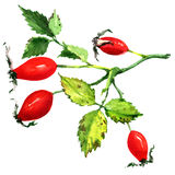 Rose hips isolated on white background Stock Photos