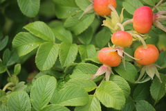 Rose Hips plant. Rose hips near a beach in New England Royalty Free Stock Photos