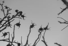 Rose hips plants. Beautiful background of plants. Gloomy and mystical spiny flower. Plant against the sky. Fractal plant. Beautiful composition stock image