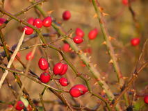 Rose hips, red berries Stock Photos