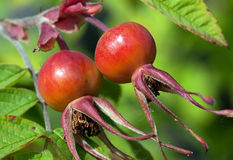 Rose hips (Rosa) Stock Images