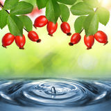 Rose hips Rosa canina. Close-up above the water level Royalty Free Stock Photography