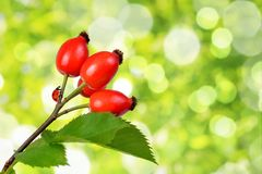 Rose hips Rosa canina. Close up on green natural background Stock Photos