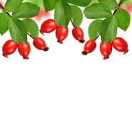 Rose hips (Rosa canina) Royalty Free Stock Images