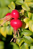 Rose Hips of Rosa Rugosa in Autumn Stock Images