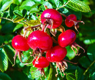Rose hips from Rosa rugosa (beach rose) Royalty Free Stock Image