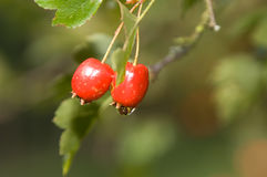 Rose hips in september. Autumn rose hips/ wild rose with the drops of dew stock photos