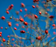 Rose hips sky Stock Image