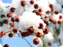 Rose hips in the snow. A sunny day at the beginning of winter and a snow shower has covered the rose hips with a snow-bed Stock Image