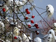 Rose hips with snow Royalty Free Stock Photo