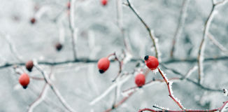 Rose hips on snow Royalty Free Stock Image