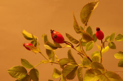 Rose hips at the studio Stock Images