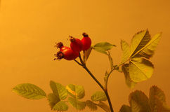 Rose hips at the studio Royalty Free Stock Images