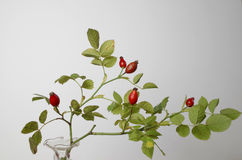 Rose hips at the studio Royalty Free Stock Image