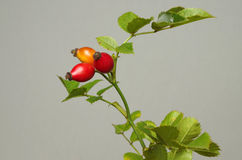 Rose hips at the studio Royalty Free Stock Photo