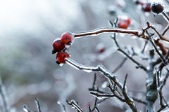 Rose hips under the ice Stock Photos