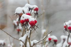 Rose Hips Under The Snow Cap. Berries Of Wild Rose In Winter, Food For Birds. Winter Vitamins. Stock Photography