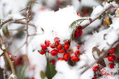 Rose hips in the white snow. Red rose hips in the white snow from china royalty free stock photo