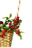 Rose hips in the wicker basket Stock Image