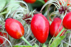 Rose hips and wild Clematis. Rose hips before wild Clematis Stock Image