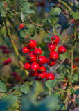 Rose hips and wild fruit Stock Photography