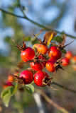 Rose hips and wild fruit Royalty Free Stock Photo