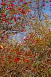 Rose hips and wild fruit Royalty Free Stock Photos