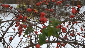 Rose hips or wild rose fruits on a bush outside in winter. On the branches of the shrub. Outdoors stock video footage