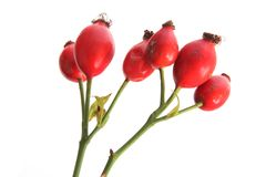 Rose hips of the wild rose (Rosa canina) Stock Photography