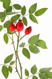 Rose hips of the wild rose (Rosa canina) Royalty Free Stock Image